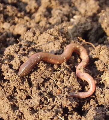 Some Earthworm Facts