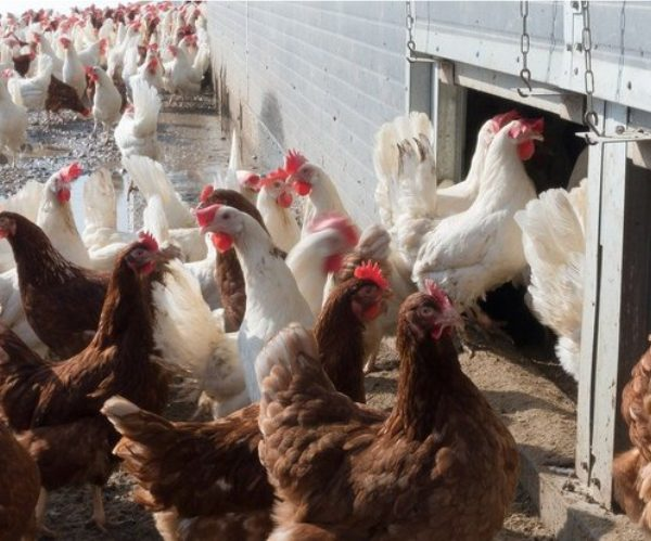 More bird flu, this time in the Western Cape