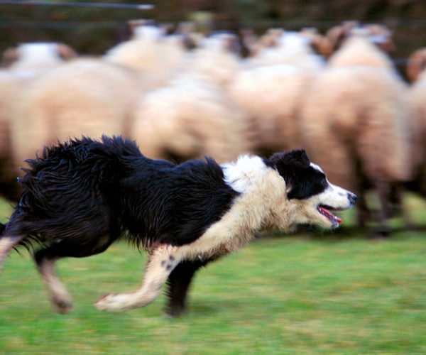 Dogs on plots: How many is enough?