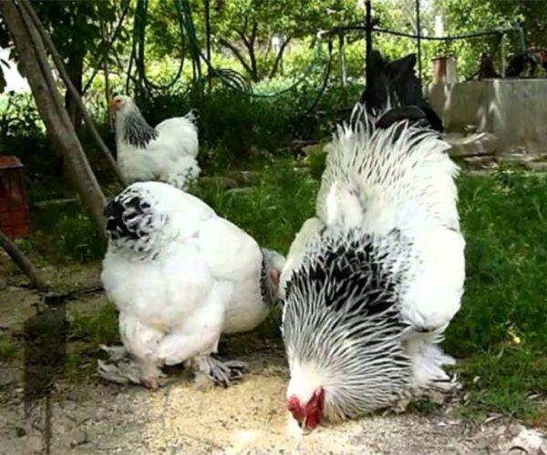 Choose Your Chicken: Brahma