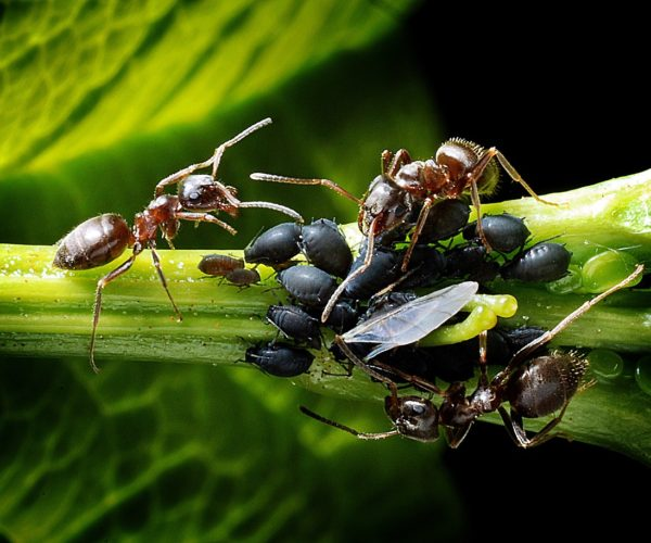 Ants and Aphids: An Insect Love Story