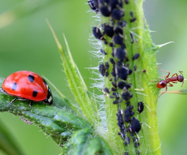 Controlling Aphids: Prevention and Treatment