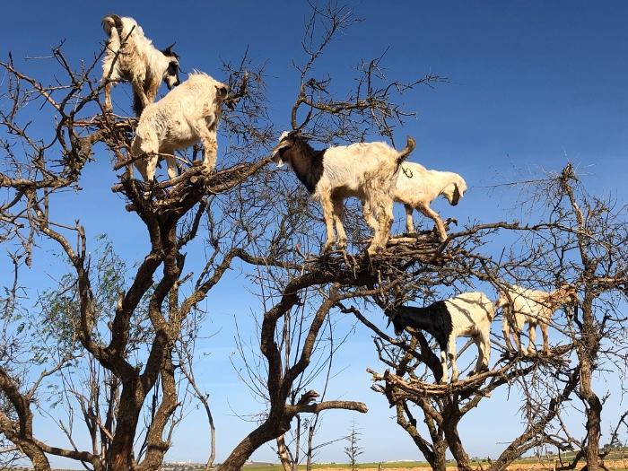 Goats love climbing