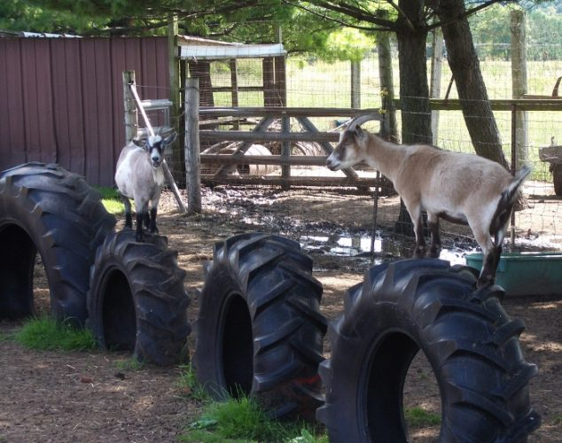 Keep Your Goats Busy