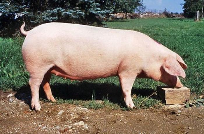 Landrace sow