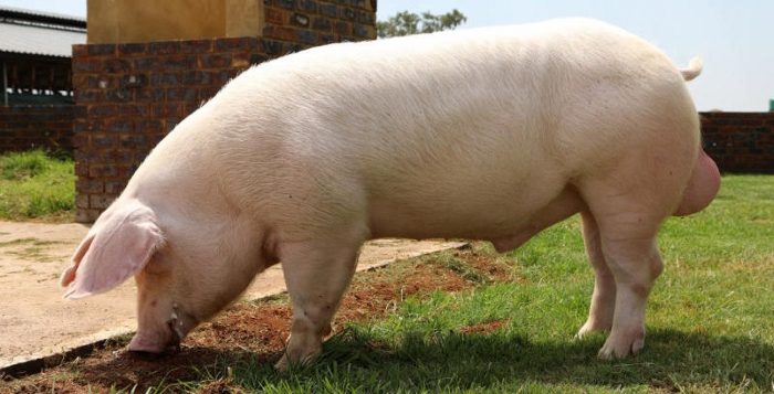 Keeping South African Landrace Pigs