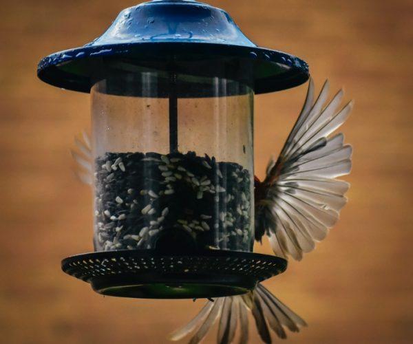Trichomoniasis ~ Don't Feed Wild Birds