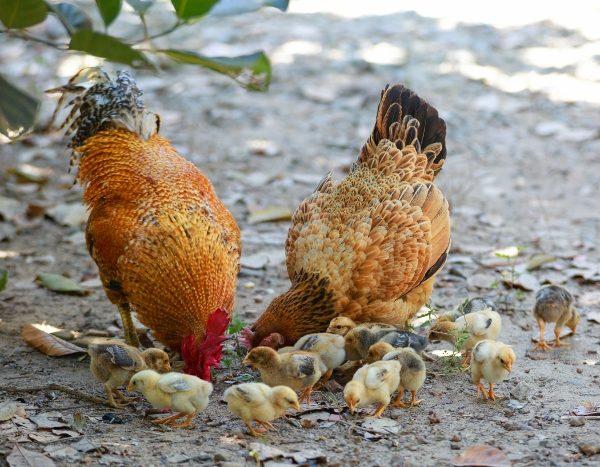 How Do Chickens Communicate?