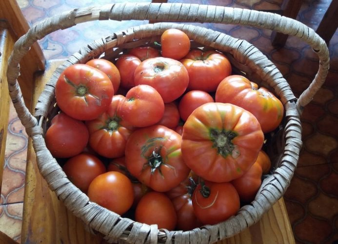 Nightshade Family: Growing Tomatoes