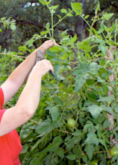 pruning trellising tomatoes