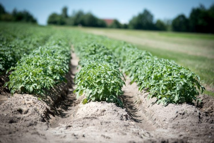 Nightshade Family: Potato Pests and Diseases