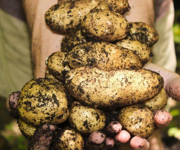Nightshade Family: Growing Potatoes