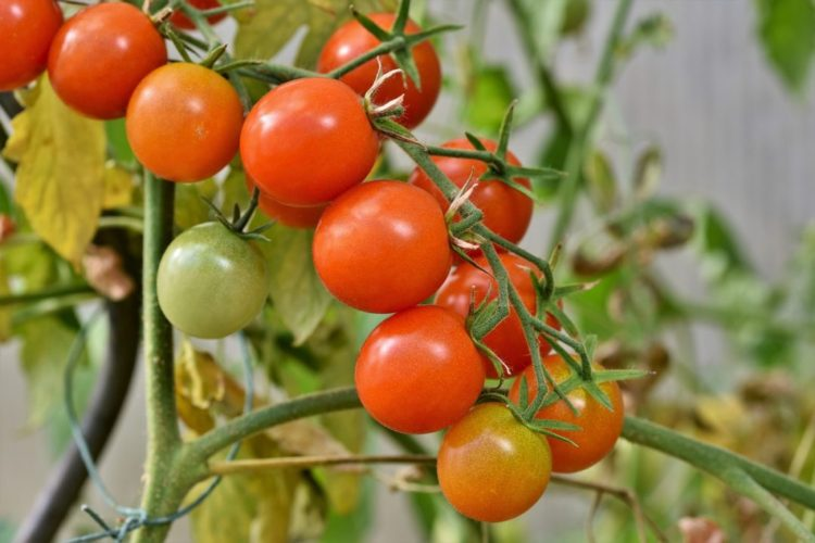 Nightshade Family: Pruning And Trellising Tomatoes
