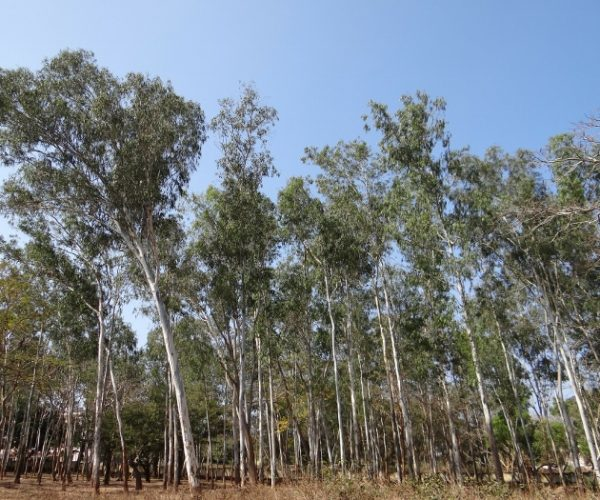 Bees and Gum Trees: It's Complex