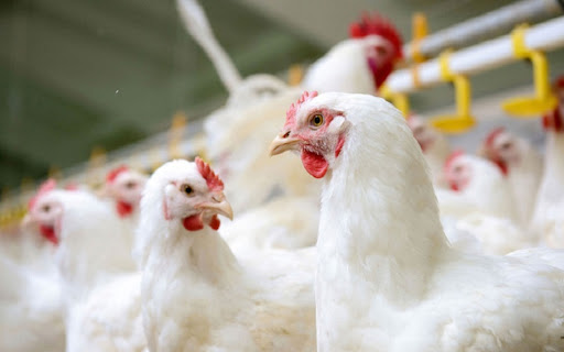 How To Establish A Biosecurity Plan For Poultry